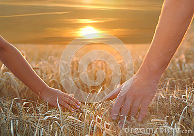 Hands on barley