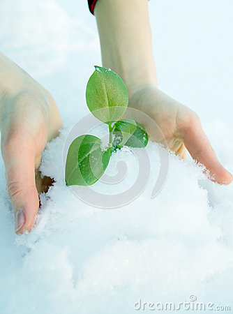 Free Hands Get Plant From, Under The Snow Royalty Free Stock Image - 36847916