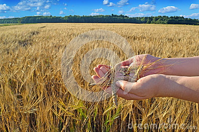 Hands with a grain in the wheat field