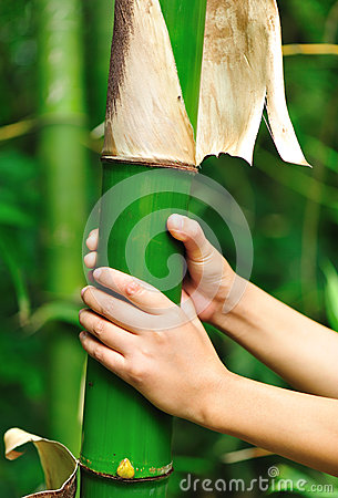 Hands grip bamboo tree