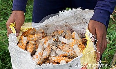Hands holding a bag og corn