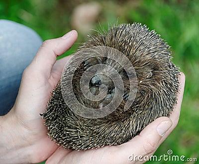 Hands holding hedgehog