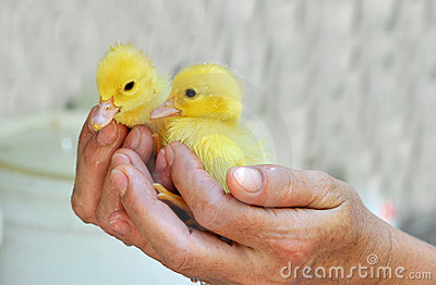 Hands holding two baby ducks