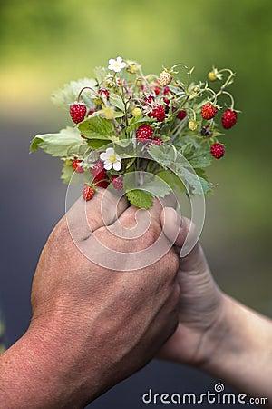 Hands holding wild strawberries