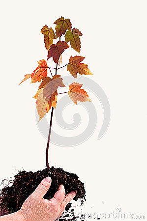 Hands Holding Young Maple Tree