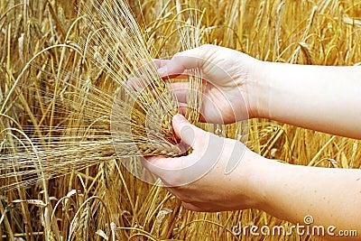 Hands holds barley