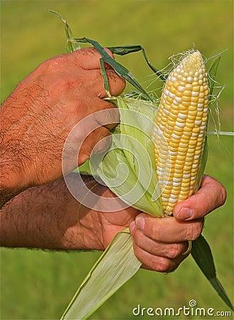 Hands Peeling Corn