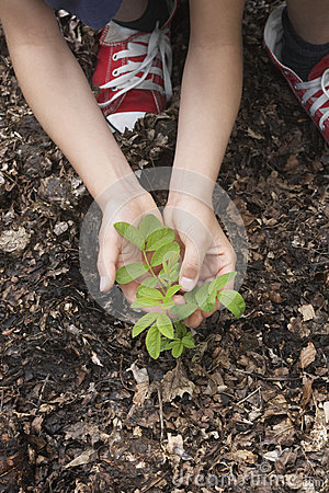 Free Hands Planting Black Locust Tree Seedling Stock Photography - 33903852