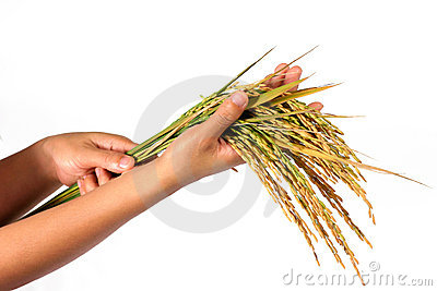Hands and a sheaf of rice
