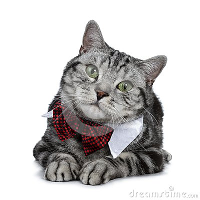 Free Handsome Black Silver Tabby British Shorthair Cat Slaying Down Wearing A Gala Party White Collar With Red Tie Bow Isolated On Whit Royalty Free Stock Images - 118885559