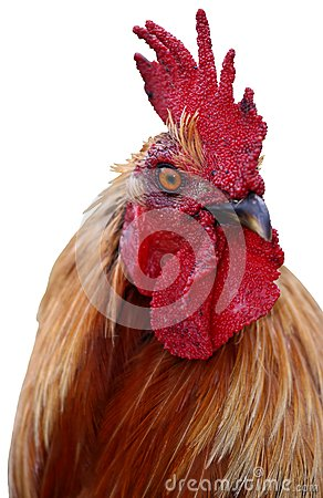 Handsome Rooster isolated on white backround