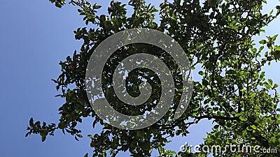 Hang van fruit - de tak van de appelboom met groene en gele appelen Bodem aan appelboom en blauwe hemel wordt geschoten die stock video