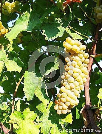 Hangende witte druif