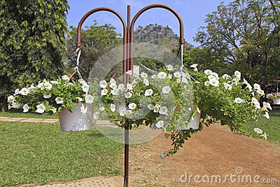 Hanging baskets with white petunia flowers hanging in a garden.