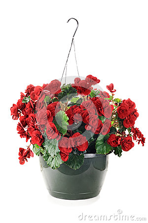 Free Hanging Begonias Stock Photos - 30236403
