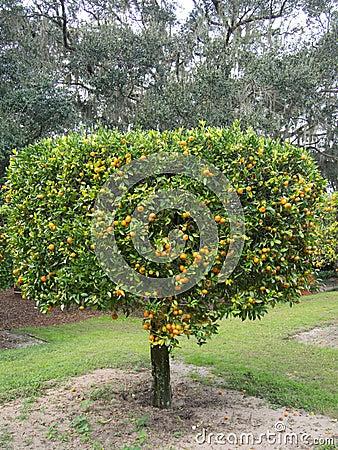 Free Hanging Citrus On Tree Royalty Free Stock Photo - 78467395