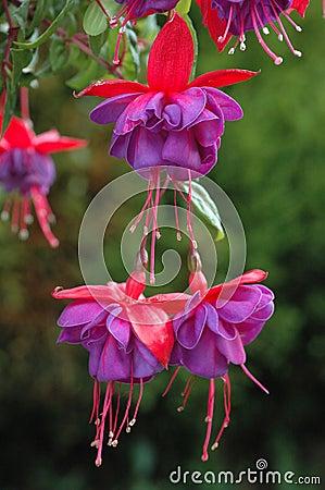 Free Hanging Fuchsia Stock Images - 599864