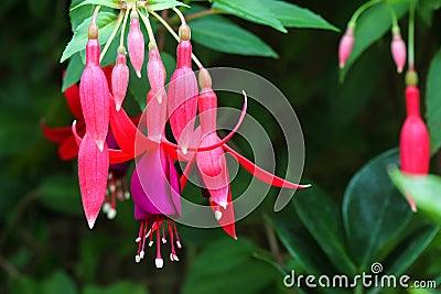 Hanging fuchsia flowers