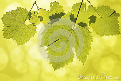Hanging Grape Leaves on Green Background