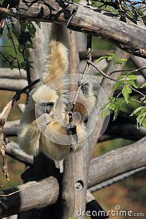 Hanging lar gibbon