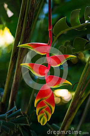 Hanging lobster claw Heliconia rostrata tropical flower bright red yellow green plant flora in Tobago Caribbean Stock Photo