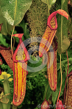 Free Hanging Pitcher Plants (Nepenthaceae) Royalty Free Stock Photos - 28567678