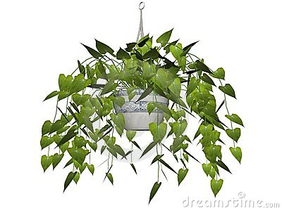 Hanging plant isolated