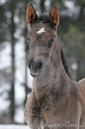 Hannoverian foal in winter