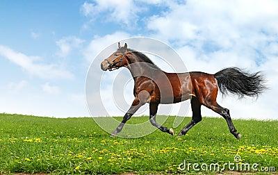 Hanoverian horse trots