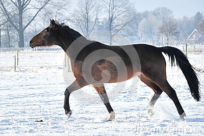 Hanoverian horse in winter