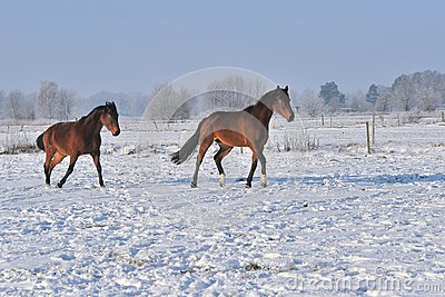 Hanoverian horses in winter