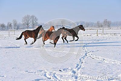 Hanoverian horses in winter