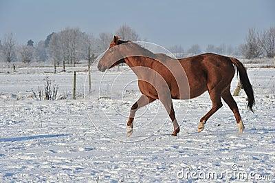 Hanoverian koń w zimie