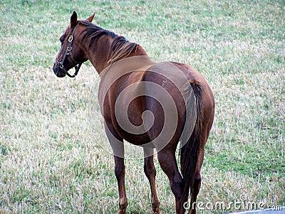 Hanoverian Race Horse