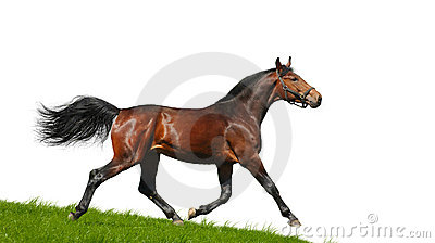 Hanoverian stallion trots