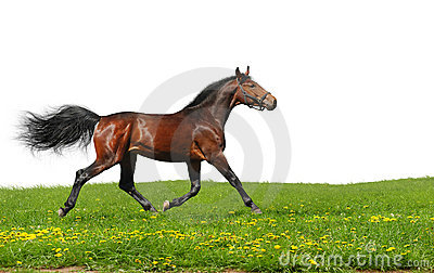 Hanoverian stallion trots
