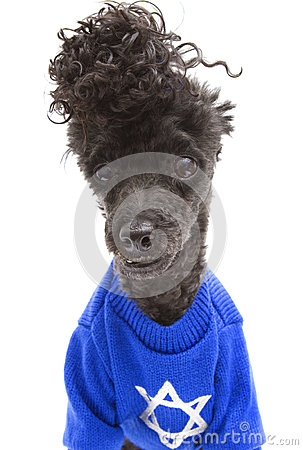 Hanukkah Sweater On Poodle