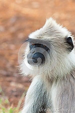 Hanuman Langur Portrait