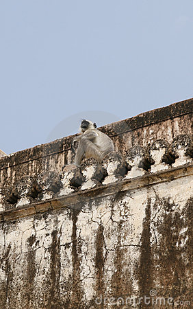 Hanuman langur (Semnopithecus entellus) monkey