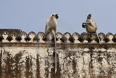 Hanuman langur (Semnopithecus entellus) monkeys.