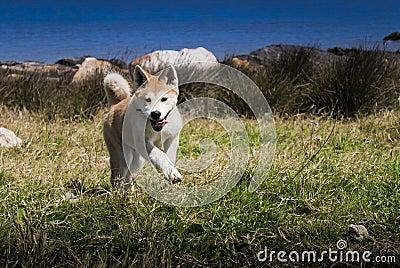 Happy Akita Puppy
