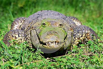 happy-alligator-21649555.jpg