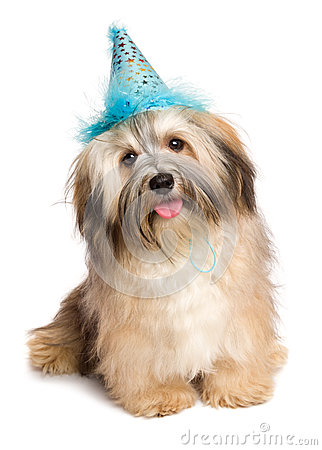 Free Happy Bichon Havanese Puppy Dog In A Blue Party Hat Royalty Free Stock Photo - 63593805