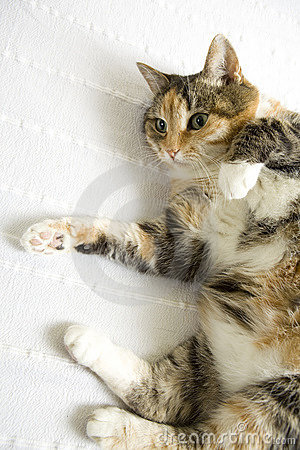 Happy cat lying on back