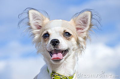 Happy Chihuahua close-up against blue cloudy sky