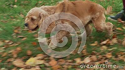 Happy Cocker spaniel, der im Herbstpark auf herabfallendem Laub läuft Cute-Hund, der auf Rasen läuft, geht zusammen mit der weibl stock video footage
