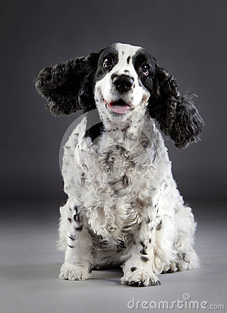 Free Happy Cocker Spaniel Dog Royalty Free Stock Photography - 84255537