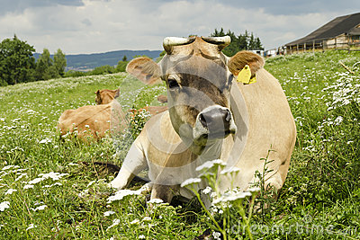 Cow on a summer meadow
