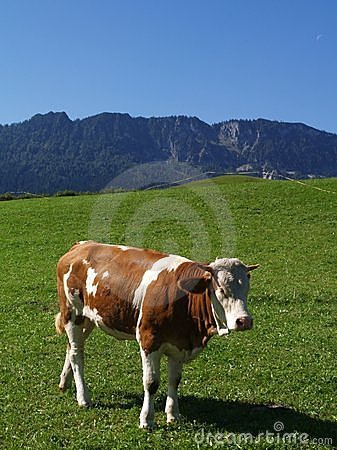 Happy cow on green grass