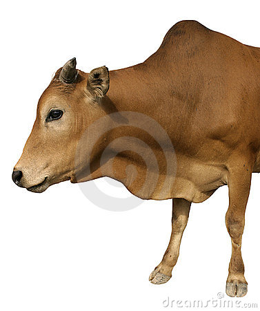 Happy cow isolated